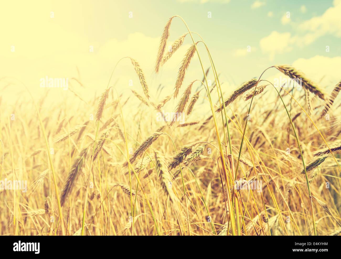 Vintage natural background, champ de blé doré. Photo Stock