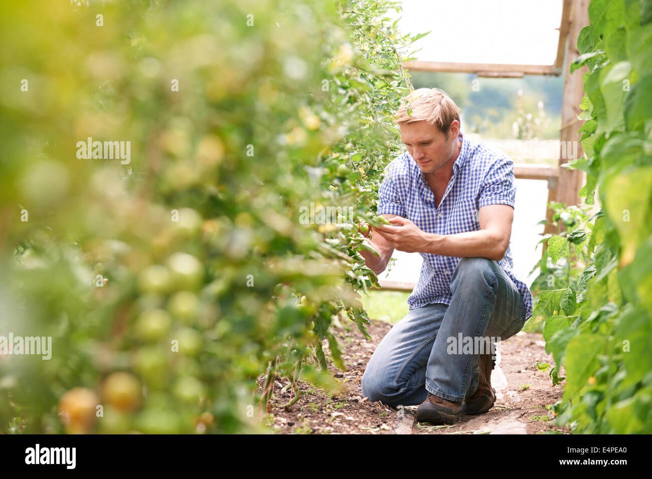 Contrôle de l'agriculteur les plants de tomates en serre Photo Stock
