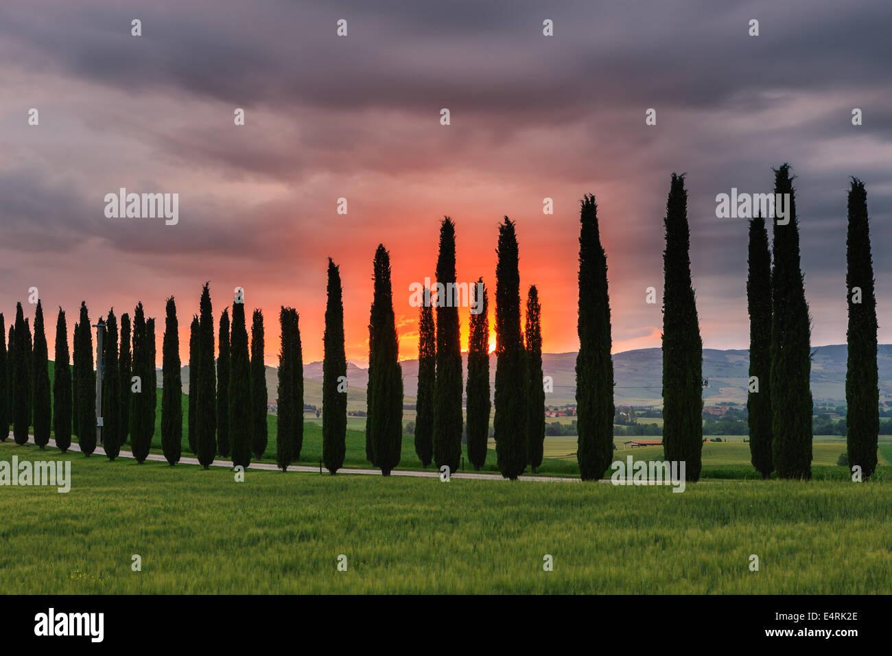 Cyprès au lever du soleil, le Poggio Covili, Toscane, Italie. Banque D'Images