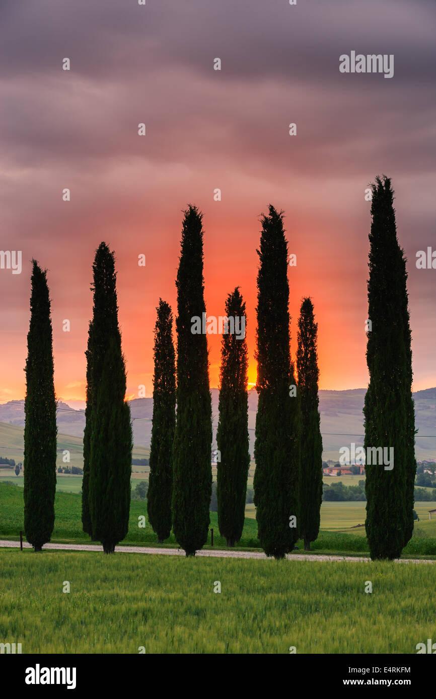 Cyprès au lever du soleil, le Poggio Covili, Toscane, Italie. Photo Stock