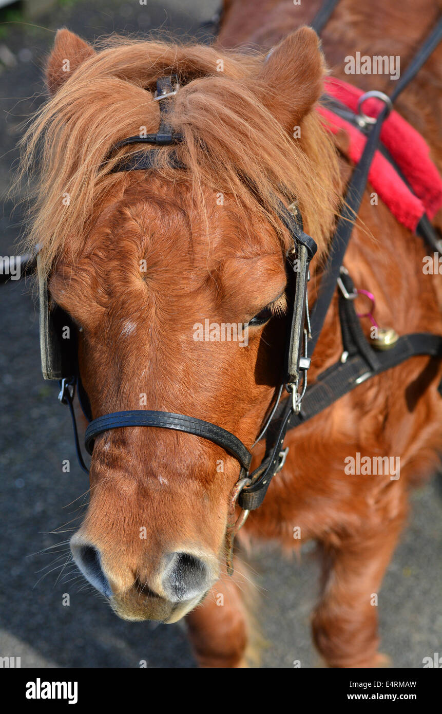 Un poney Shetland avec des oeillères ou des oeillères Photo Stock