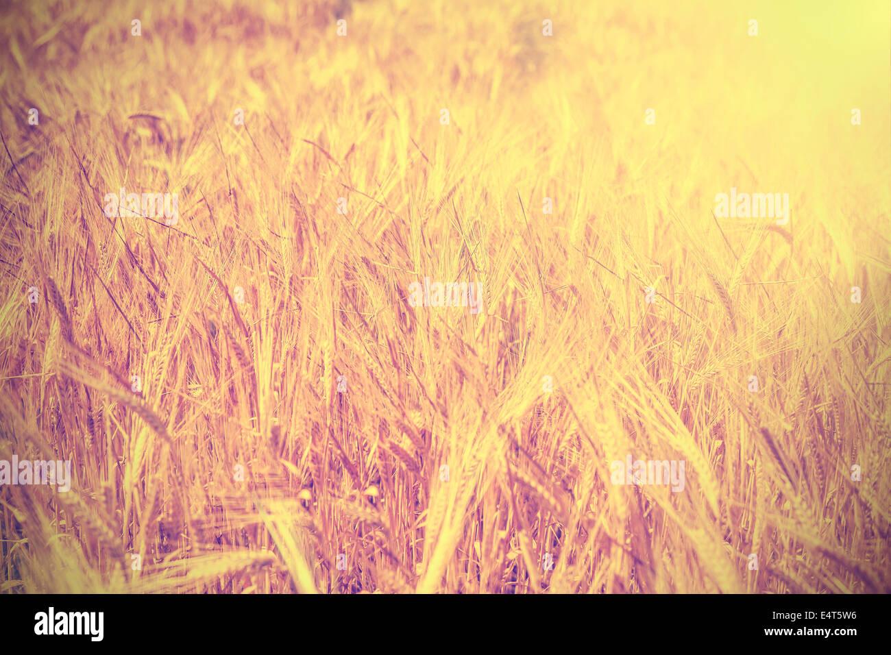 Champ de blé Vintage background. Photo Stock