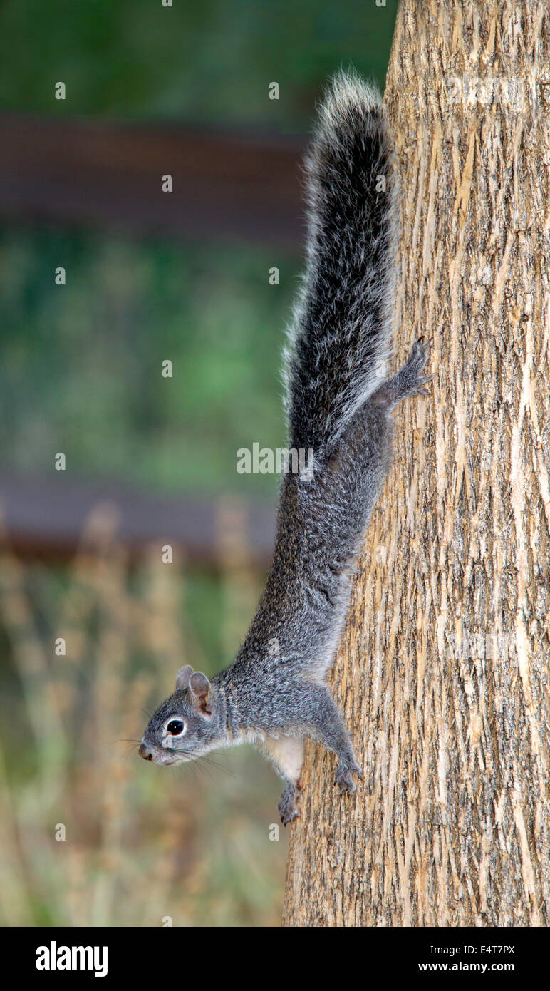 L'écureuil gris Sciurus Arizona arizonensis Madera Canyon, Santa Rita Mountains, Arizona, United States Photo Stock