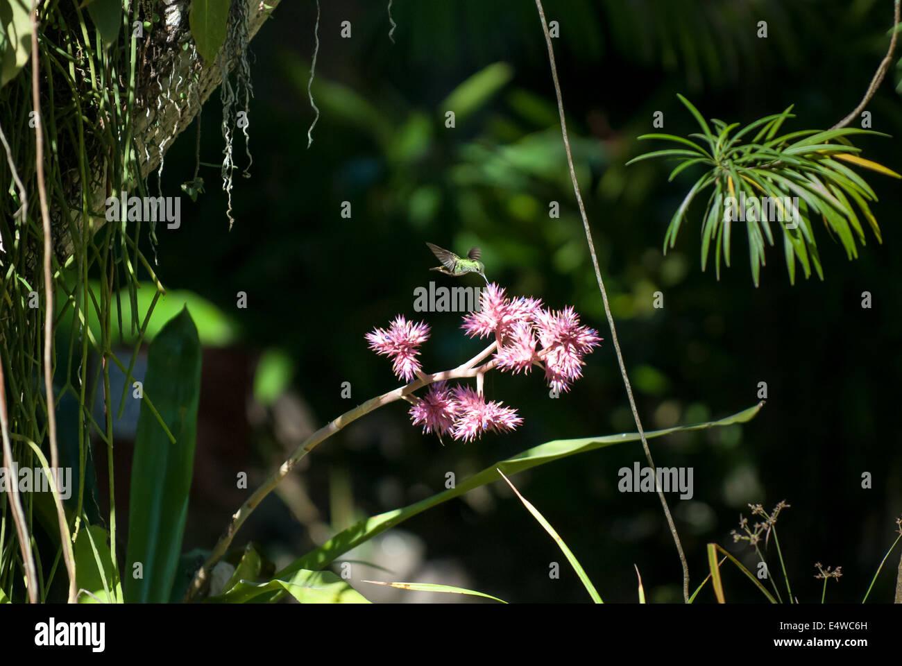 L'île de Itaparica, Etat de Bahia, Brésil. Pousada Arco Iris; Humming Bird en tenant un nectar Photo Stock