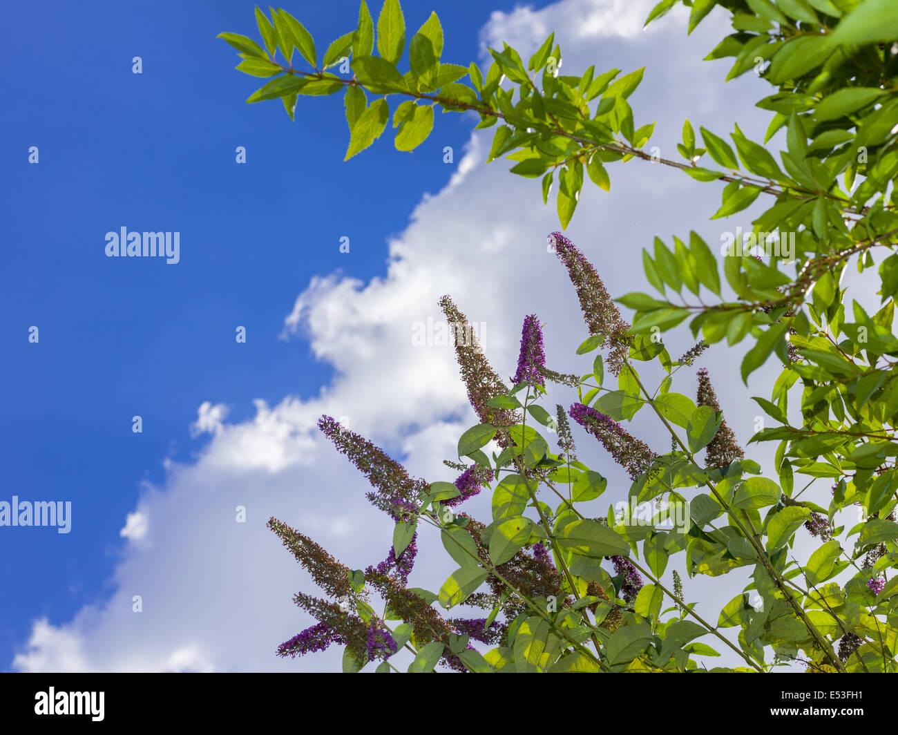 Jardin des plantes à fleurs plante verte fleurs ciel nuage bleu soleil de l'été en plein air Photo Stock