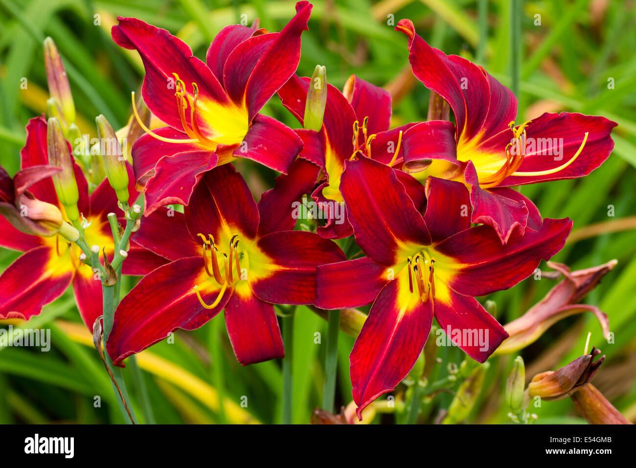 Fleurs écarlates à gorge jaune de l'hémérocalle, Hemerocallis 'Colibri' Photo Stock