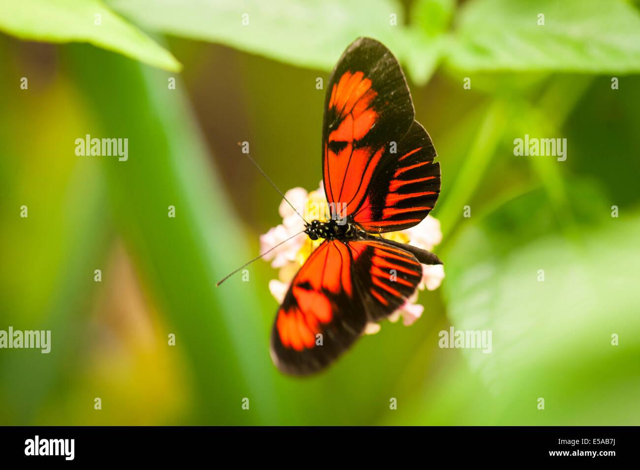 Nord-ouest de Londres, Golders Hill Park, maison des papillons, des insectes Les insectes, Postman Heliconius Melpomene Photo Stock