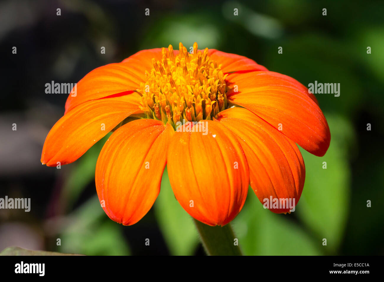 Fleur orange vif de Tithonia rotundifolia 'Torch' Photo Stock