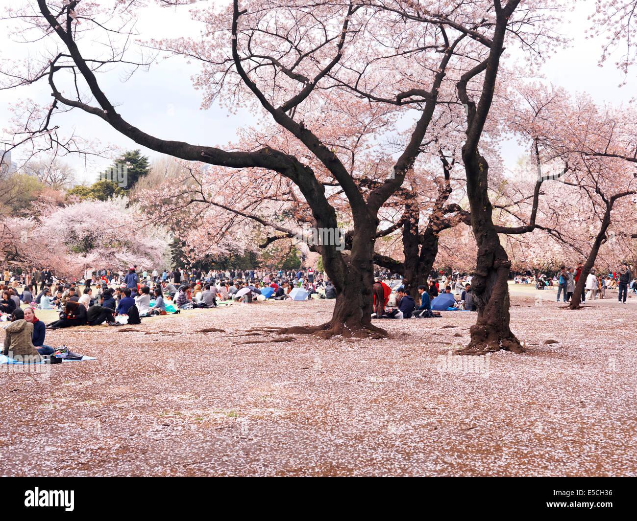 Les gens se reposant dans le jardin National Gyoen au cours de fleur de cerisier. Shinjuku, Tokyo, Japon. Photo Stock