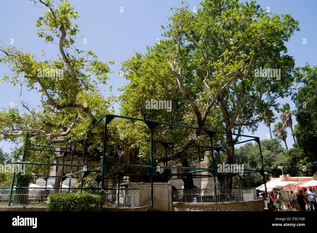 hippocrate platane, arbre plan carré, île de kos, dodécanèse, grèce