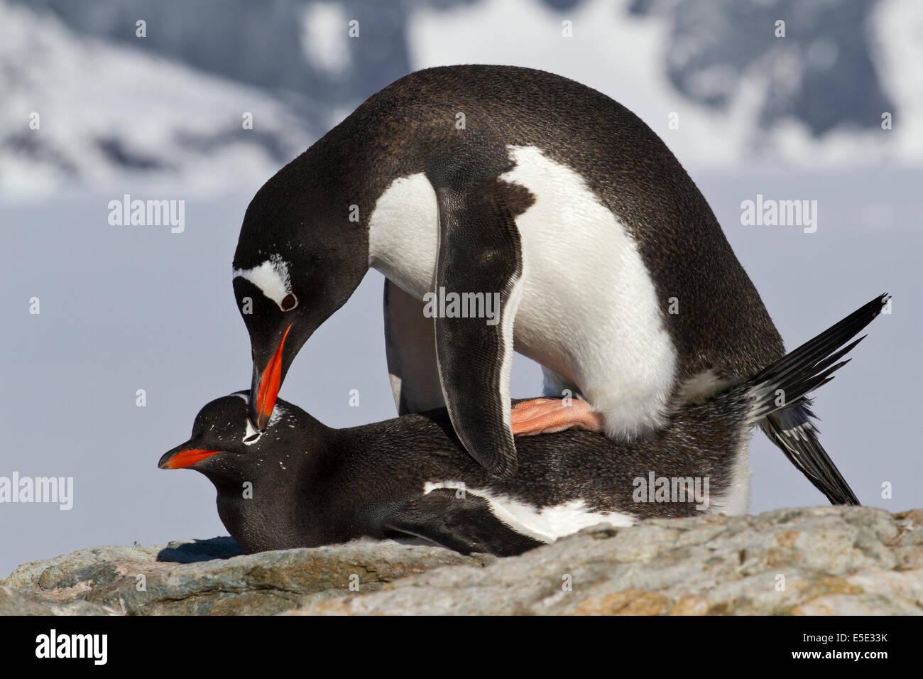Gentoo pingouins mâles et femelles au cours de l'accouplement Photo Stock