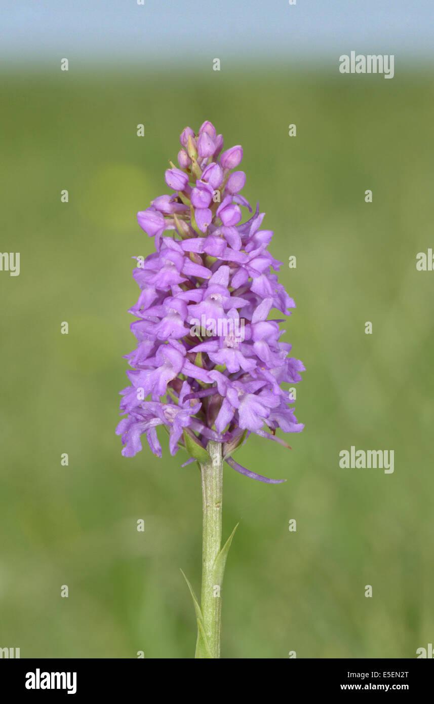 Parfumé à la craie de l'ouest - Gymnadenia conopsea Photo Stock