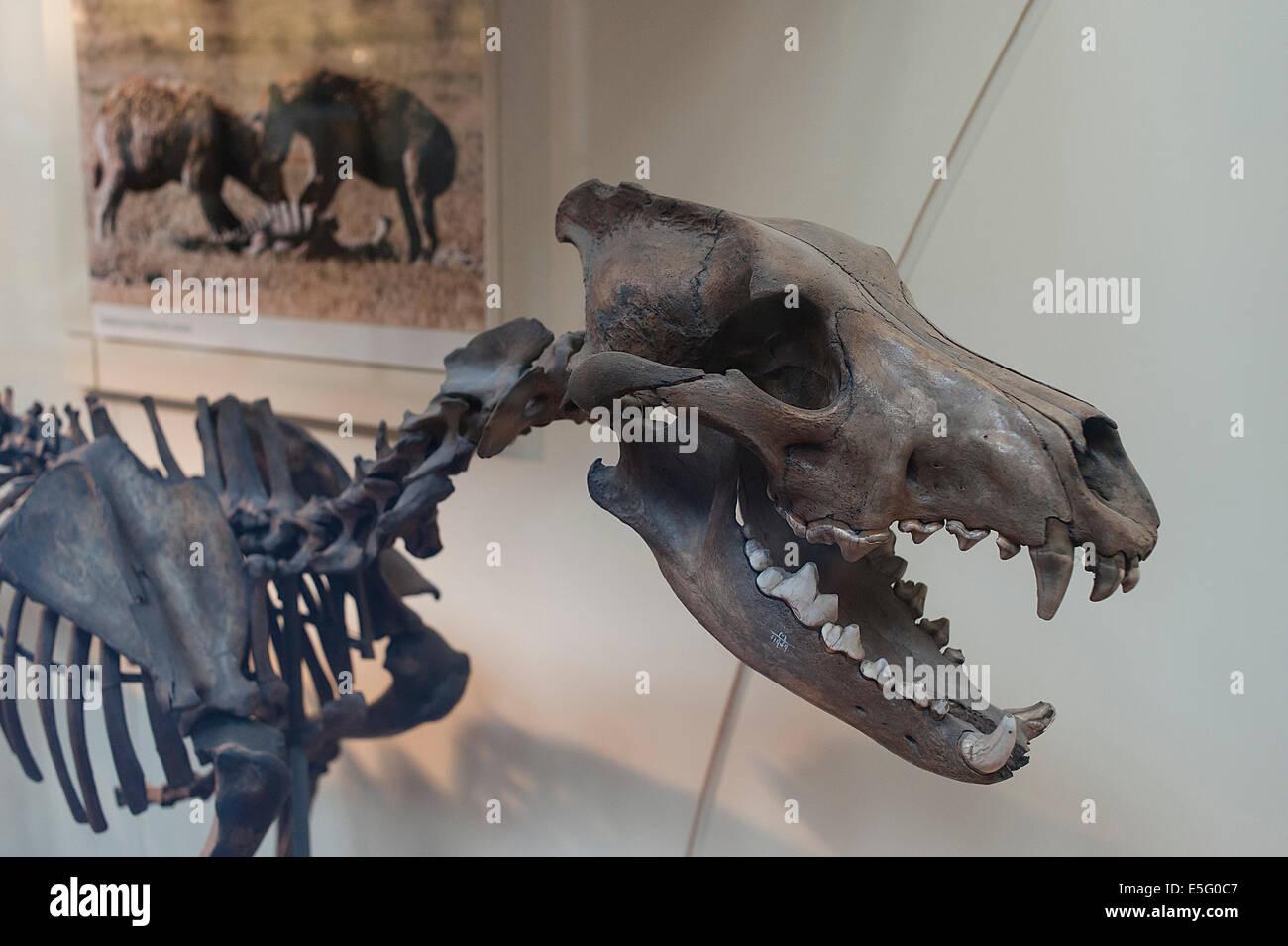 Squelette d'une espèce carnivore le loup Canis dirus, Pléistocène Banque D'Images