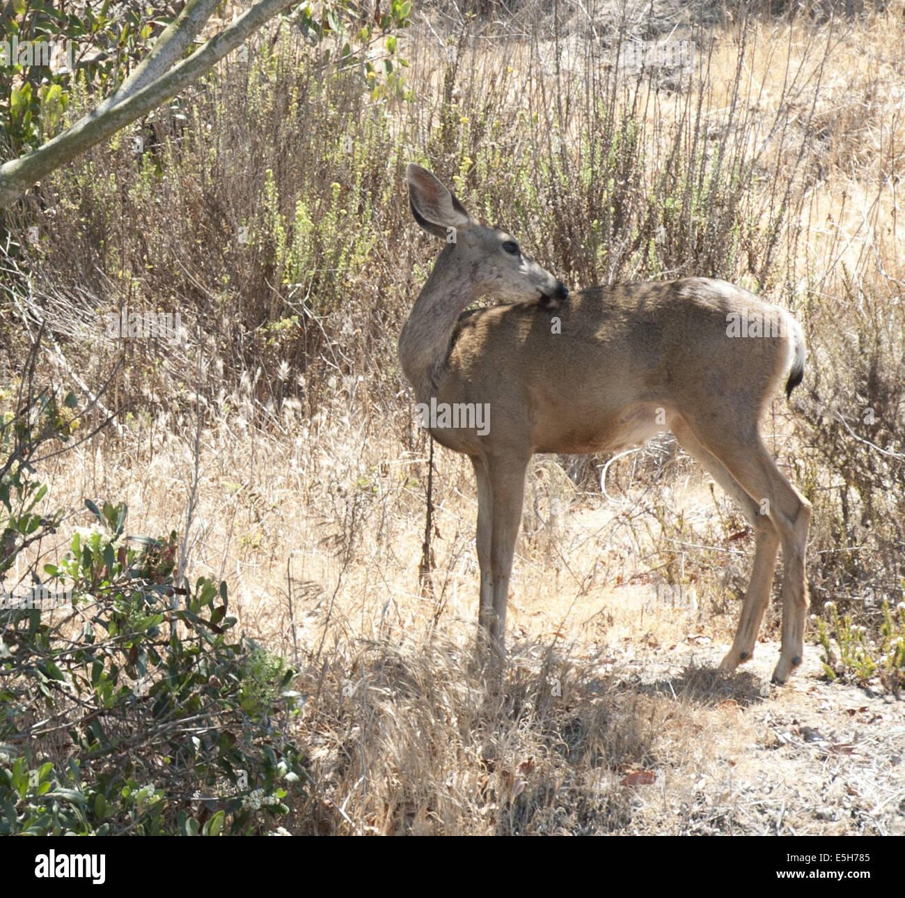 Laguna Beach, Californie, USA. 17 juillet, 2013. La Californie le Cerf mulet est commun dans le Nord, le centre et la Région des prairies côtières de Californie, il se nourrit de petits arbustes, d'herbes et de baies. La Californie le cerf mulet se distingue pour sa grande et longue comme mule ears et peut habituellement être trouvé plus près des sources d'eau comme les cours d'eau, ruisseaux, lacs et étangs.----Odocoileus hemionus californicus --- Sur la photo, une paire de mule deer pourrait être vu travailler leur chemin le long d'une colline à El Moro Creek dans la région de Crystal Cove State Beach, Orange County. © David Bro/ZUMA/Alamy Fil Live News Banque D'Images
