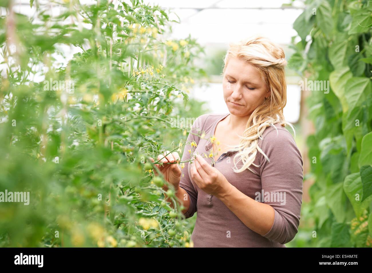 L'ouvrier agricole dans les émissions de contrôler les plants de tomates Photo Stock