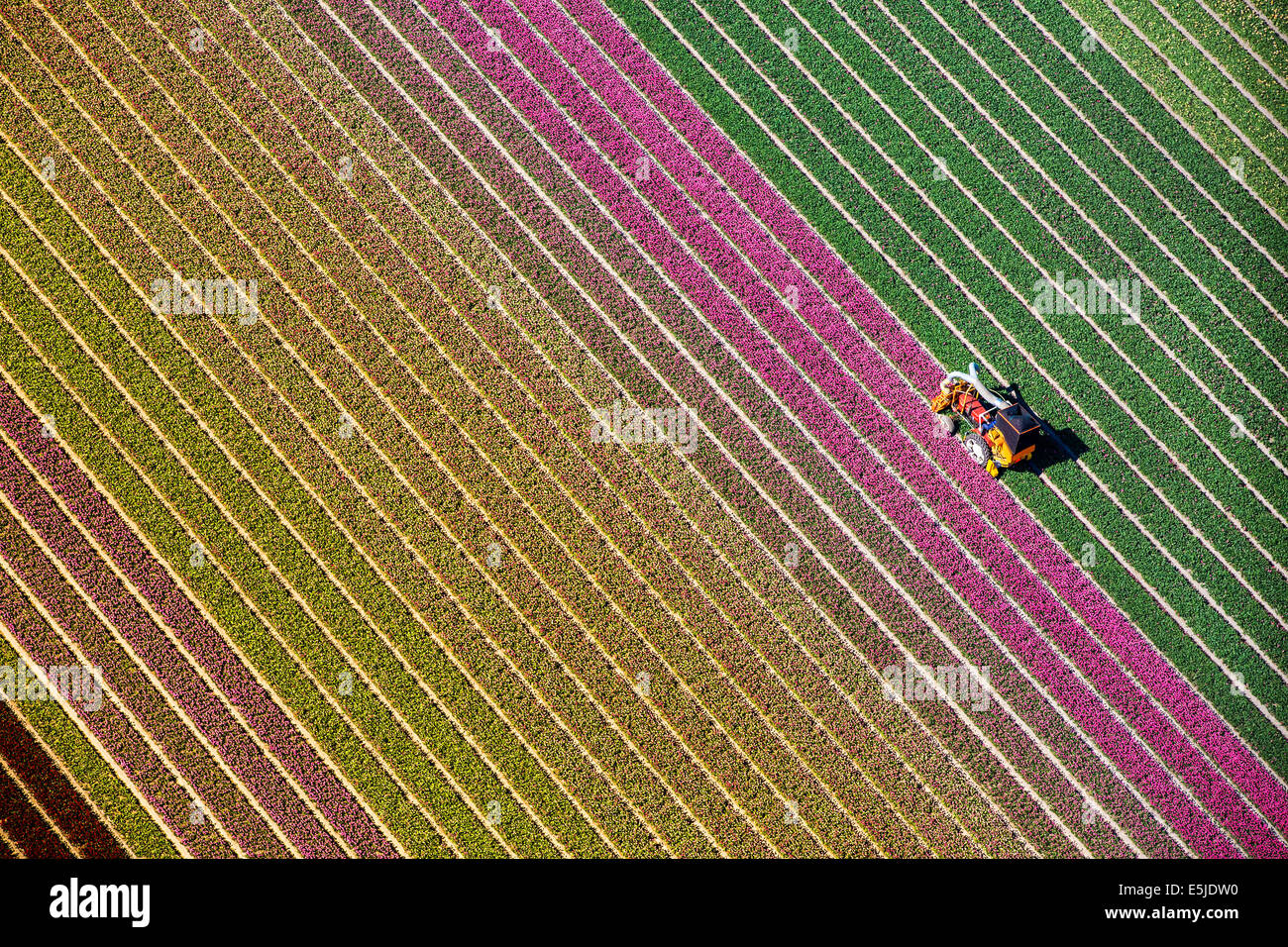 Pays-bas, Burgervlotbrug, champs de tulipes, agriculteur topping tulipes. Aerial Photo Stock