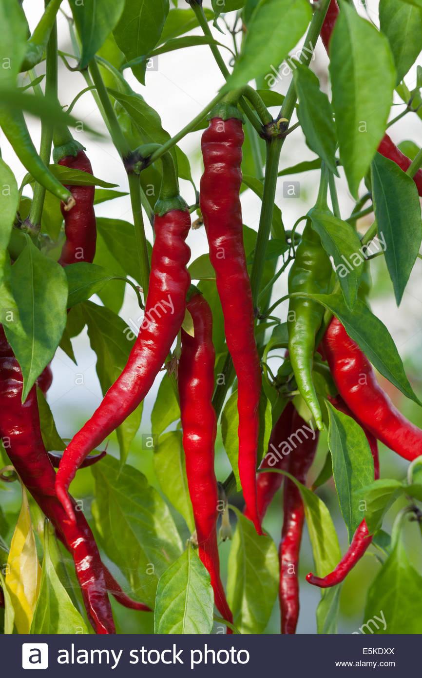 Capsicum chinense piment de Cayenne longues fines épices Légumes d'été Juillet chaud cuisine Photo Stock