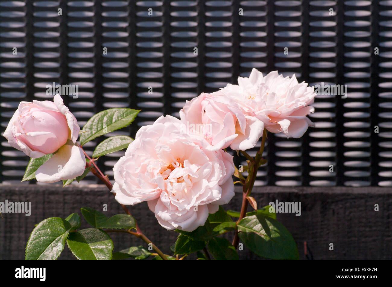 English rose pâle rosier grimpant 'The Generous Gardener' Photo Stock