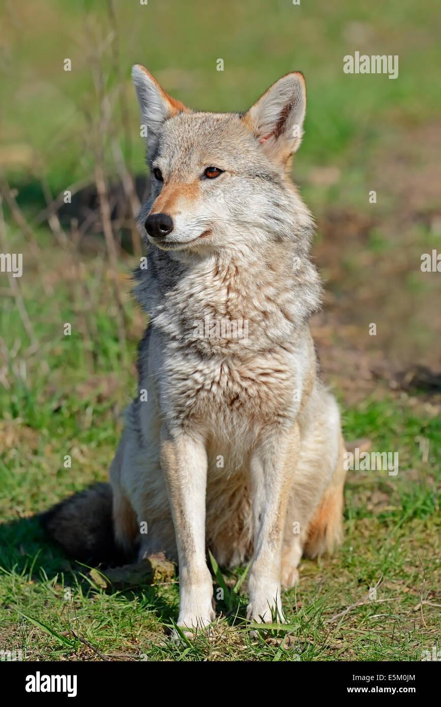 Le chacal doré, le Chacal commun ou l'Asiatique Jackal (Canis aureus), l'Inde, l'Asie Banque D'Images