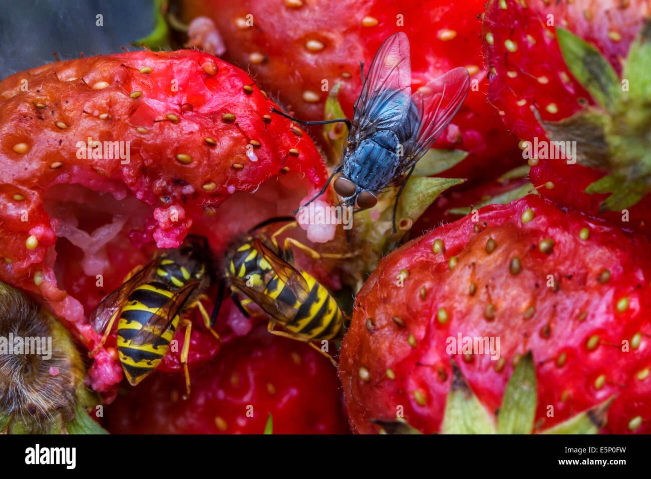 Que Mange Les Guepes les guêpes et les mouches de manger les fraises pourries dans jardin