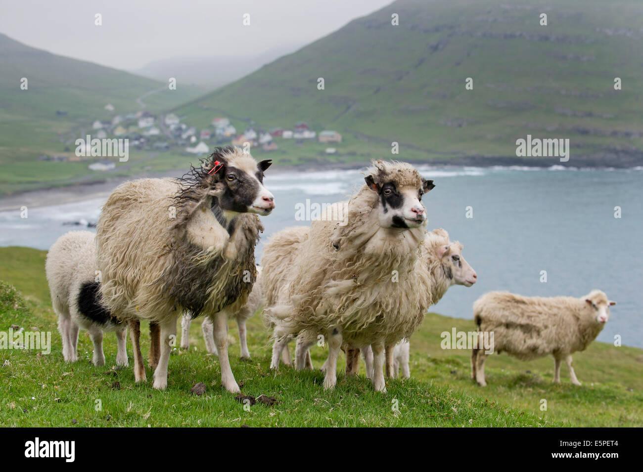 Les moutons, Sandoy, îles Féroé, Danemark Photo Stock