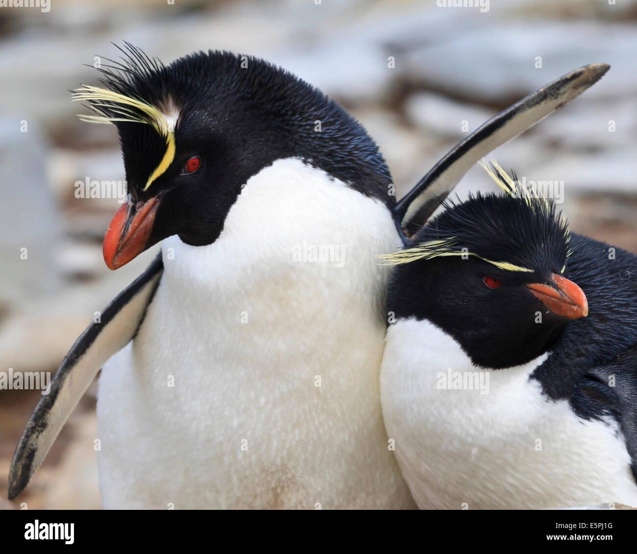 Rockhopper Penguin (Eudyptes chrysocome) le comportement de cour, Rockhopper Point, l'île de Sea Lion, Photo Stock
