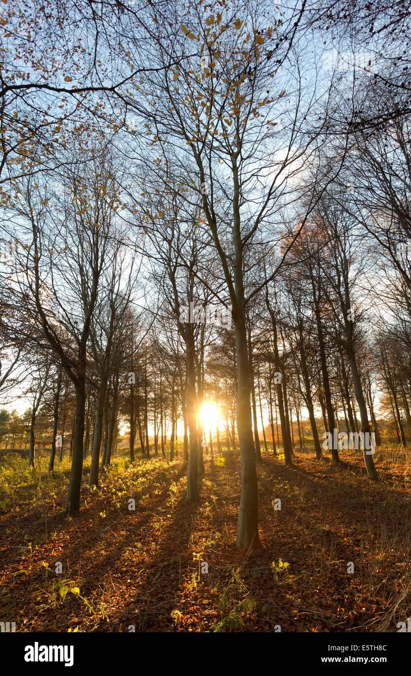 La fin de l'après-midi l'hiver du soleil brillant à travers les arbres dans les bois à Longhoughton, près de Alnwick, Northumberland, England, UK Banque D'Images