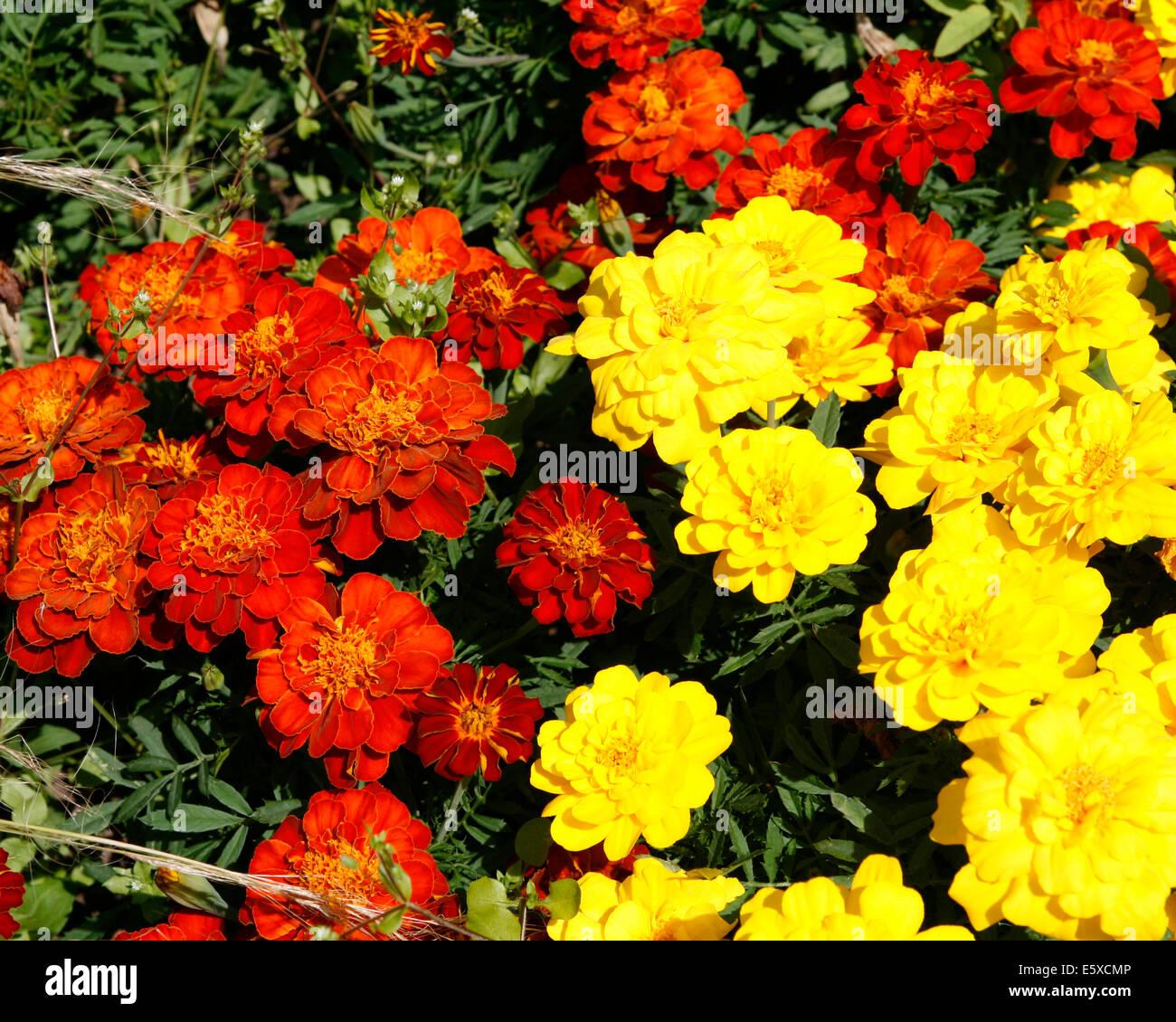 Plantes A Massif Fleurs Jaune Et Rouge Worcestershire Worcester
