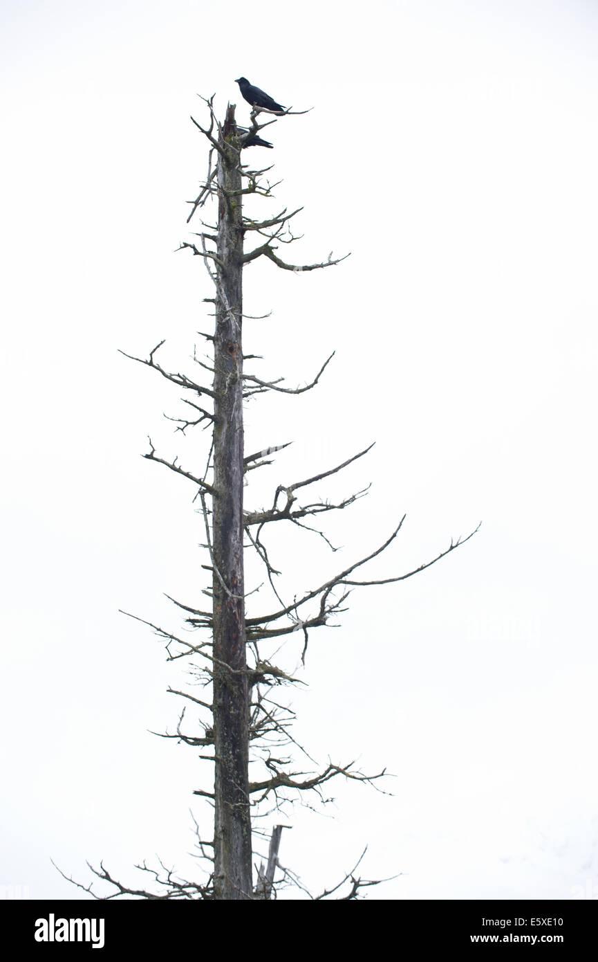 Un corbeau dans l'Alaska Wildlife Conservation Center, Girdwood, Alaska. Photo Stock