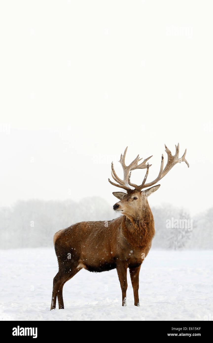Red Deer (Cervus elaphus), stag en hiver, captive, Rhénanie du Nord-Westphalie, Allemagne Photo Stock