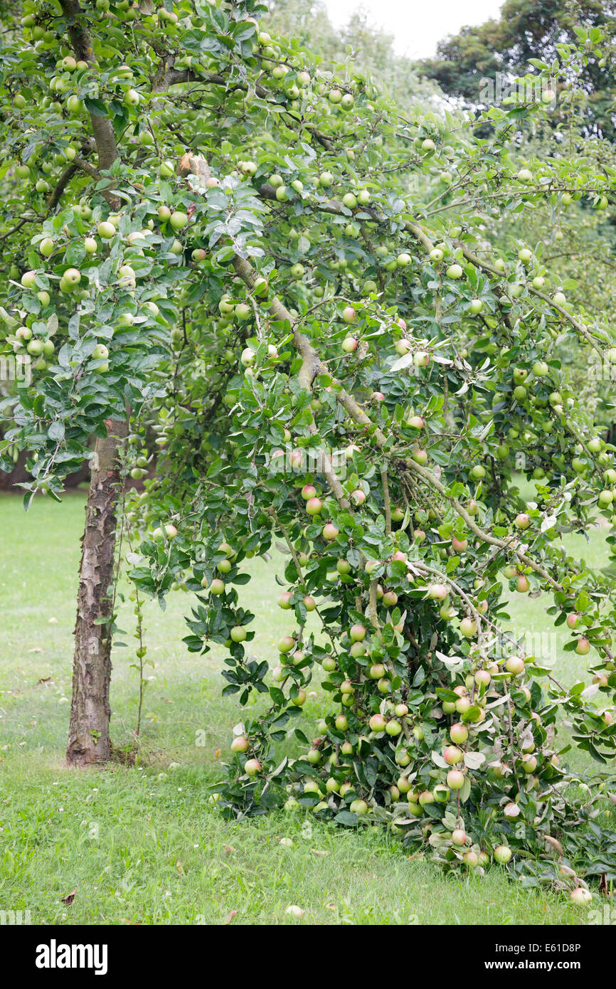 Apple tree branch brisée sous poids de fruits Photo Stock