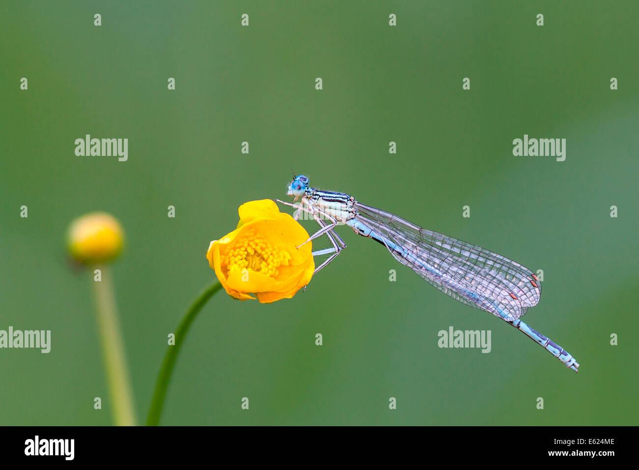 Libellule (Zygoptera) sur fleur de renoncule (Ranunculus), Hesse du Nord, Hesse, Allemagne Banque D'Images