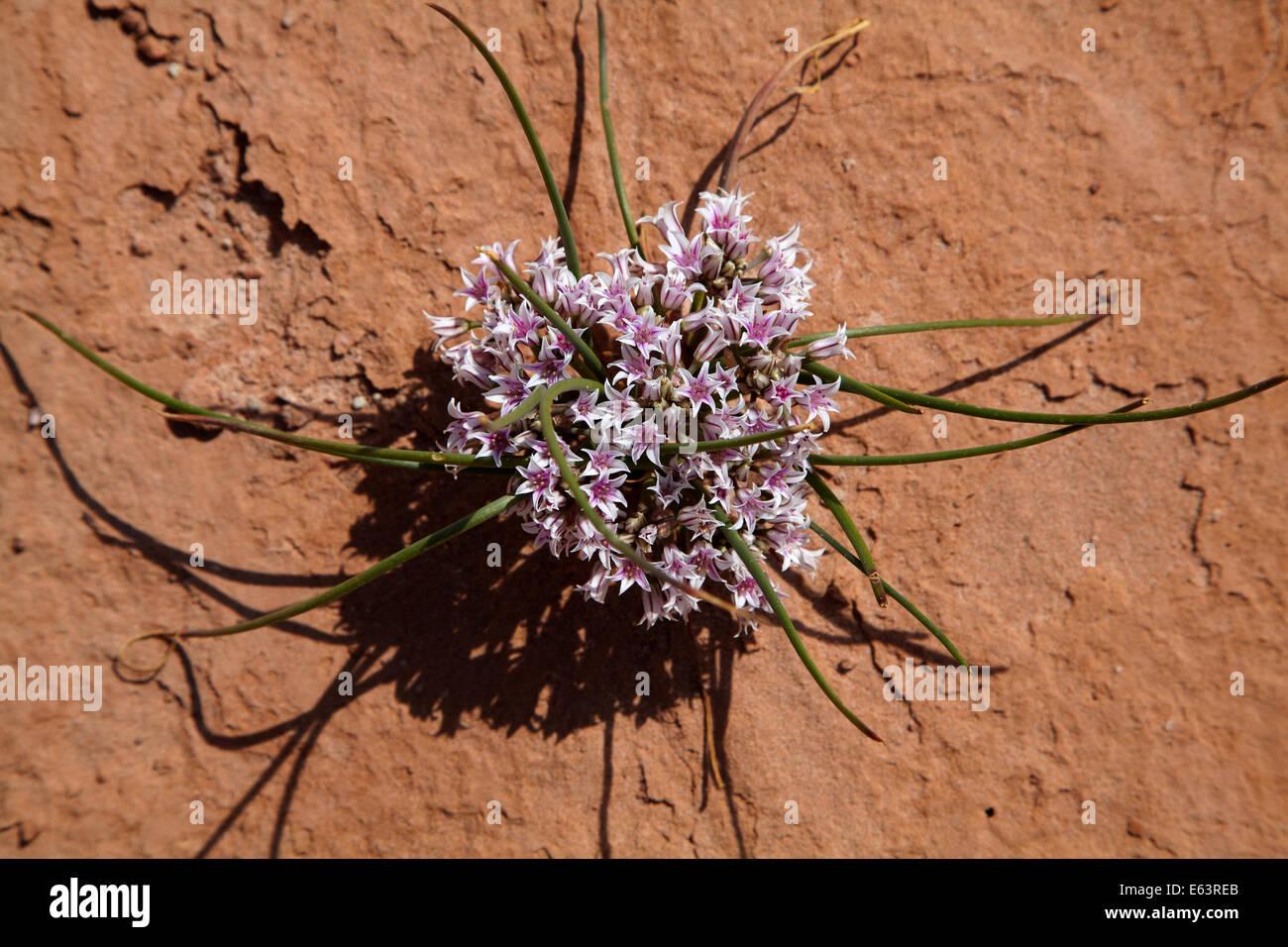 Oignon (Allium sauvages des prairies textile), Goblin Valley State Park, San Rafael, désert de l'Utah, Photo Stock