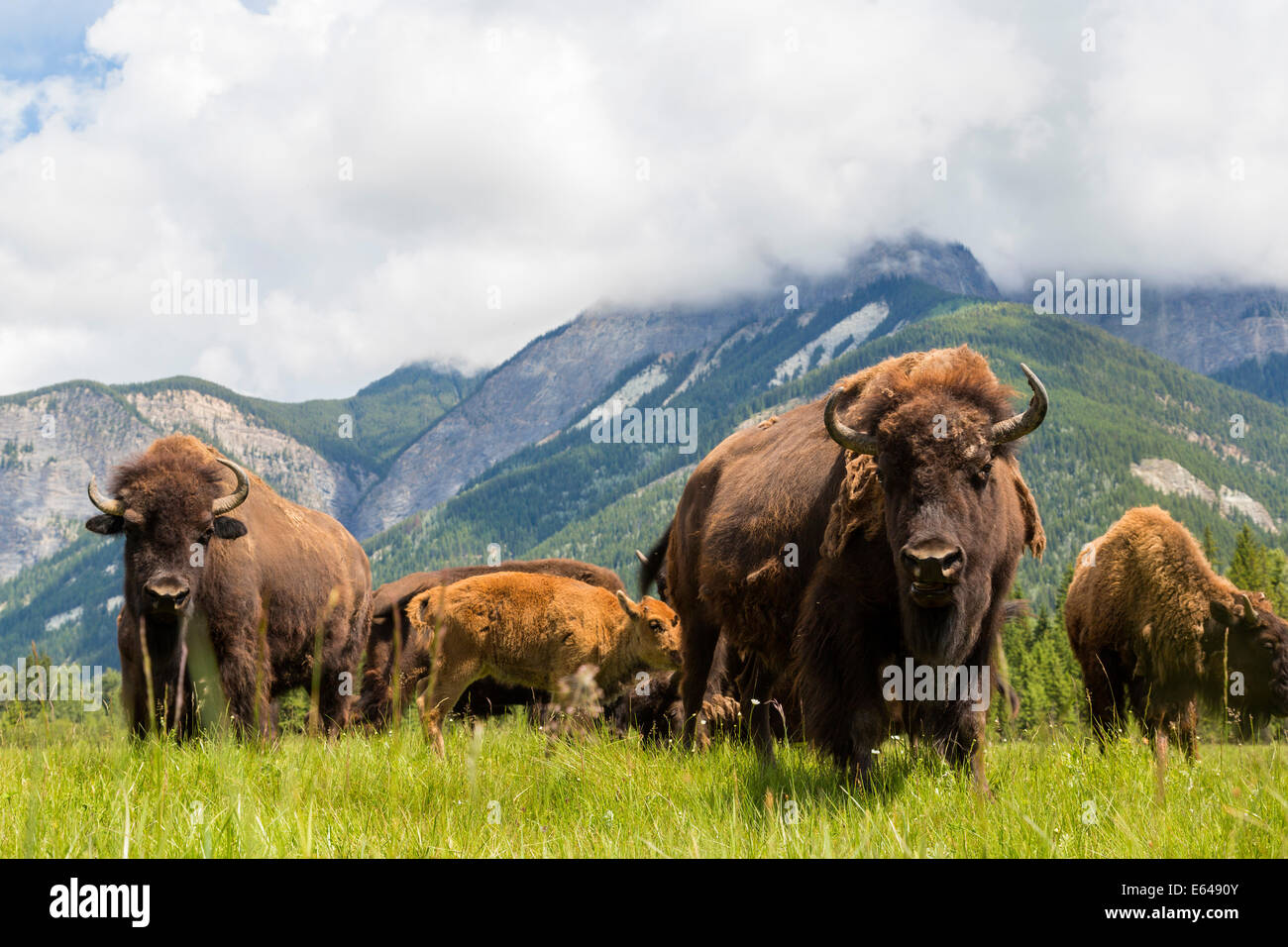 Le bison, Alberta, Canada Photo Stock