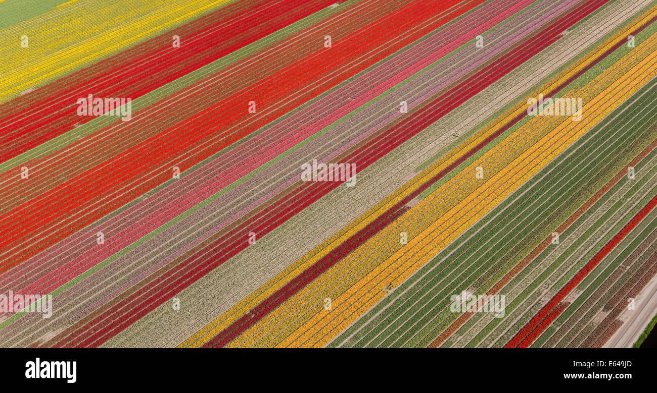 Champs de tulipes, Hollande du Nord, Pays-Bas Photo Stock