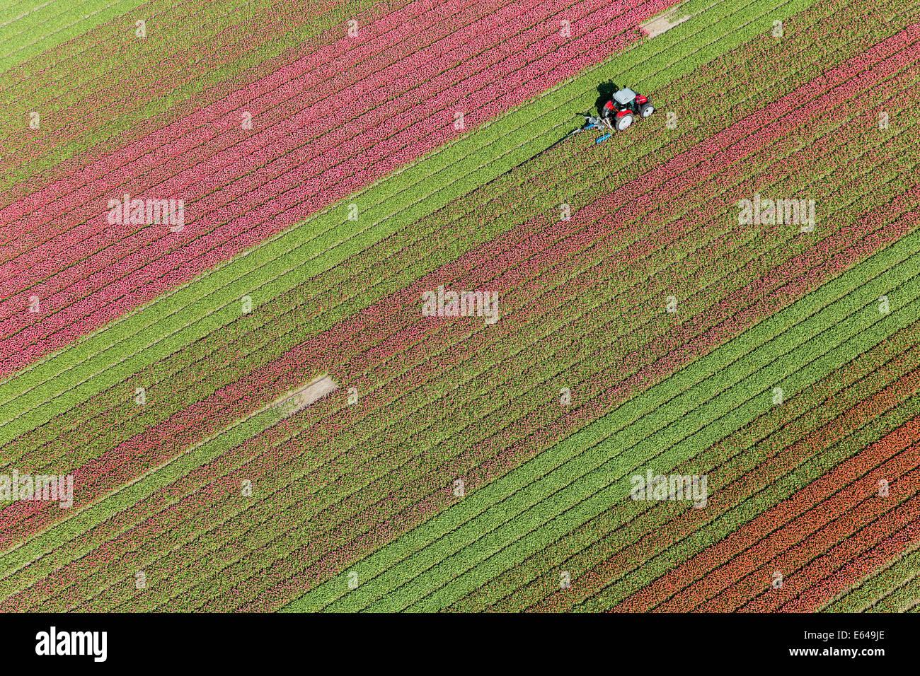 Le tracteur dans les champs de tulipes, Hollande du Nord, Pays-Bas Photo Stock