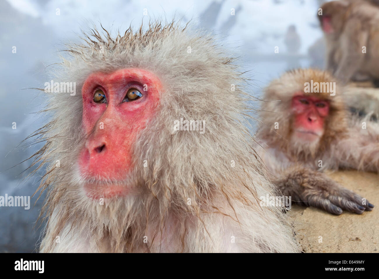 Macaque japonais (Macaca fuscata)/ Snow monkey, Parc National de Joshin-etsu, Honshu, Japan Photo Stock