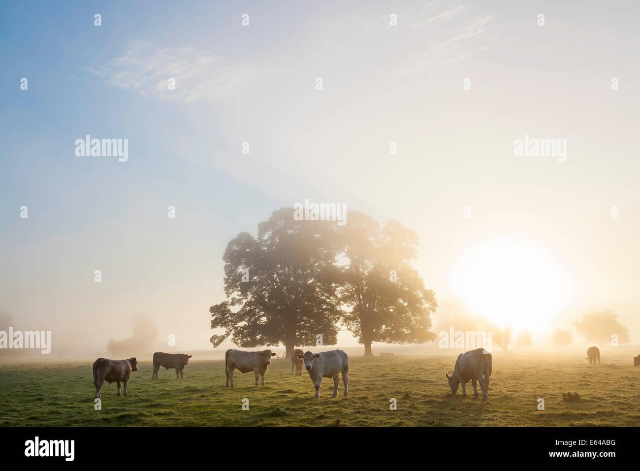 Les vaches dans le champ, le lever du soleil, l'Usk Valley, South Wales, UK Photo Stock