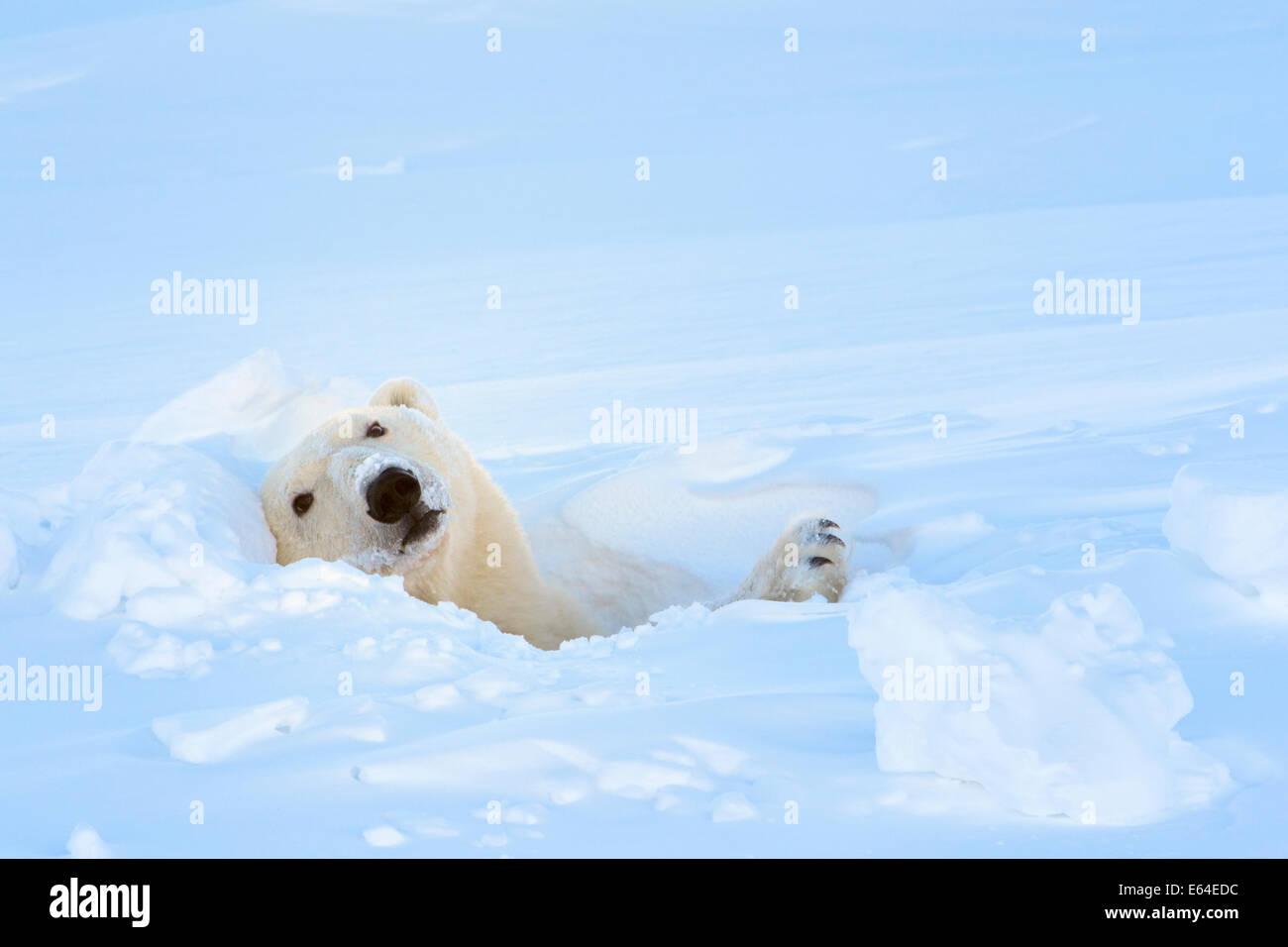 L'ours polaire (Ursus maritimus) à sortir de sa tanière au parc national Wapusk, Canada. Photo Stock