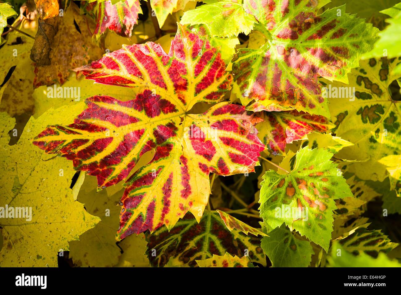 Les teintes automnales sur les feuilles de vigne en UK Photo Stock