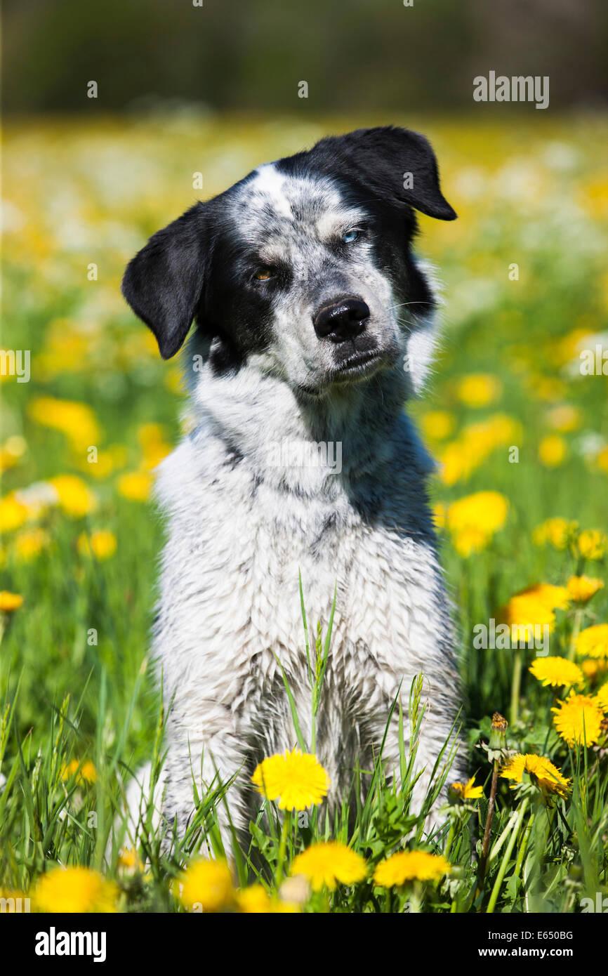 Münsterländer Husky Labrador chien de race mixte, noir et blanc chien assis dans un pissenlit prairie, Photo Stock