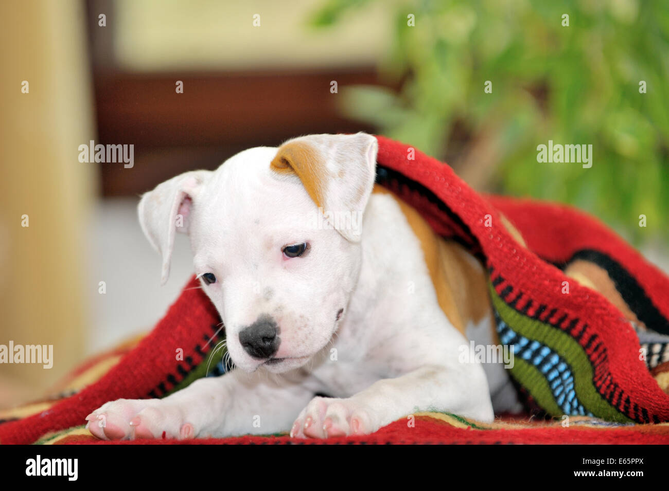 Chiot American Staffordshire Terrier playing Banque D'Images
