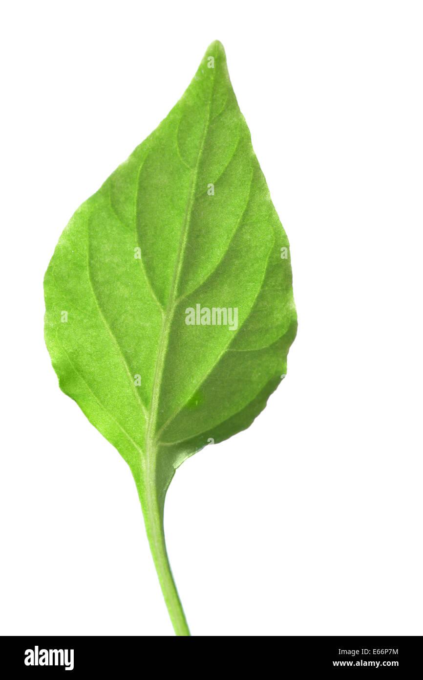 Vert feuille unique isolé sur fond blanc Photo Stock