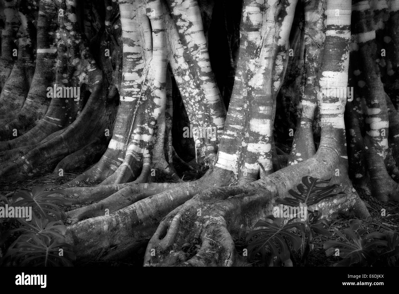 Banyon de troncs d'arbre. Lanai, Hawaii Photo Stock