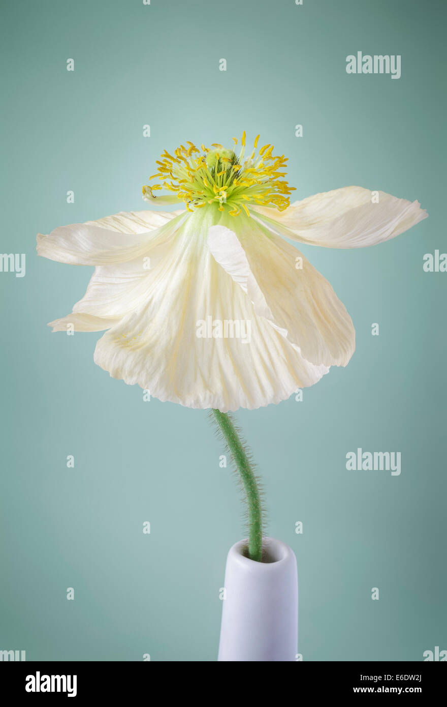 Single white coquelicot sur fond vert pâle Photo Stock