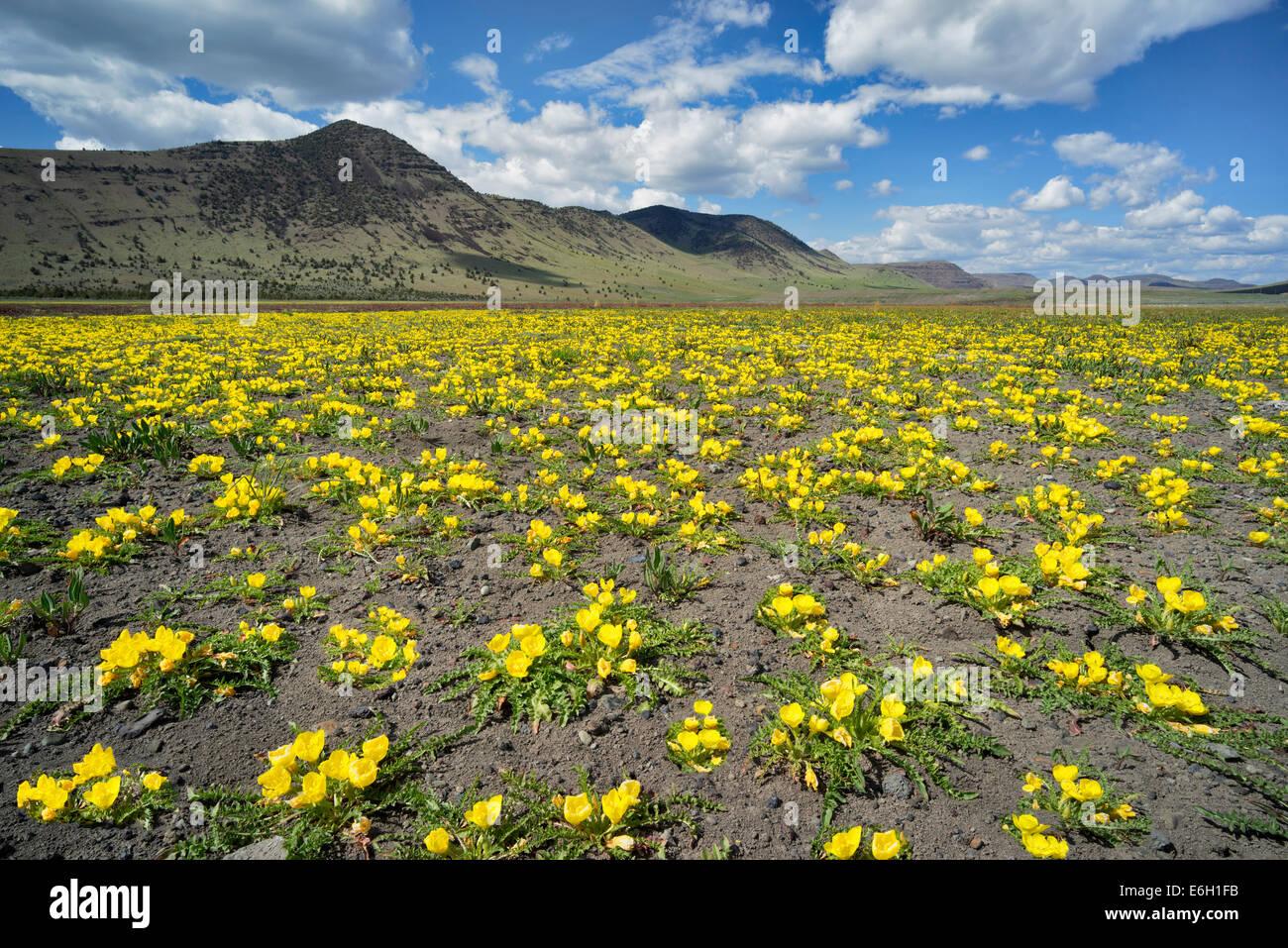 À feuilles de tanaisie jaune d'Onagre et de montagne Steens. Oregon Photo Stock