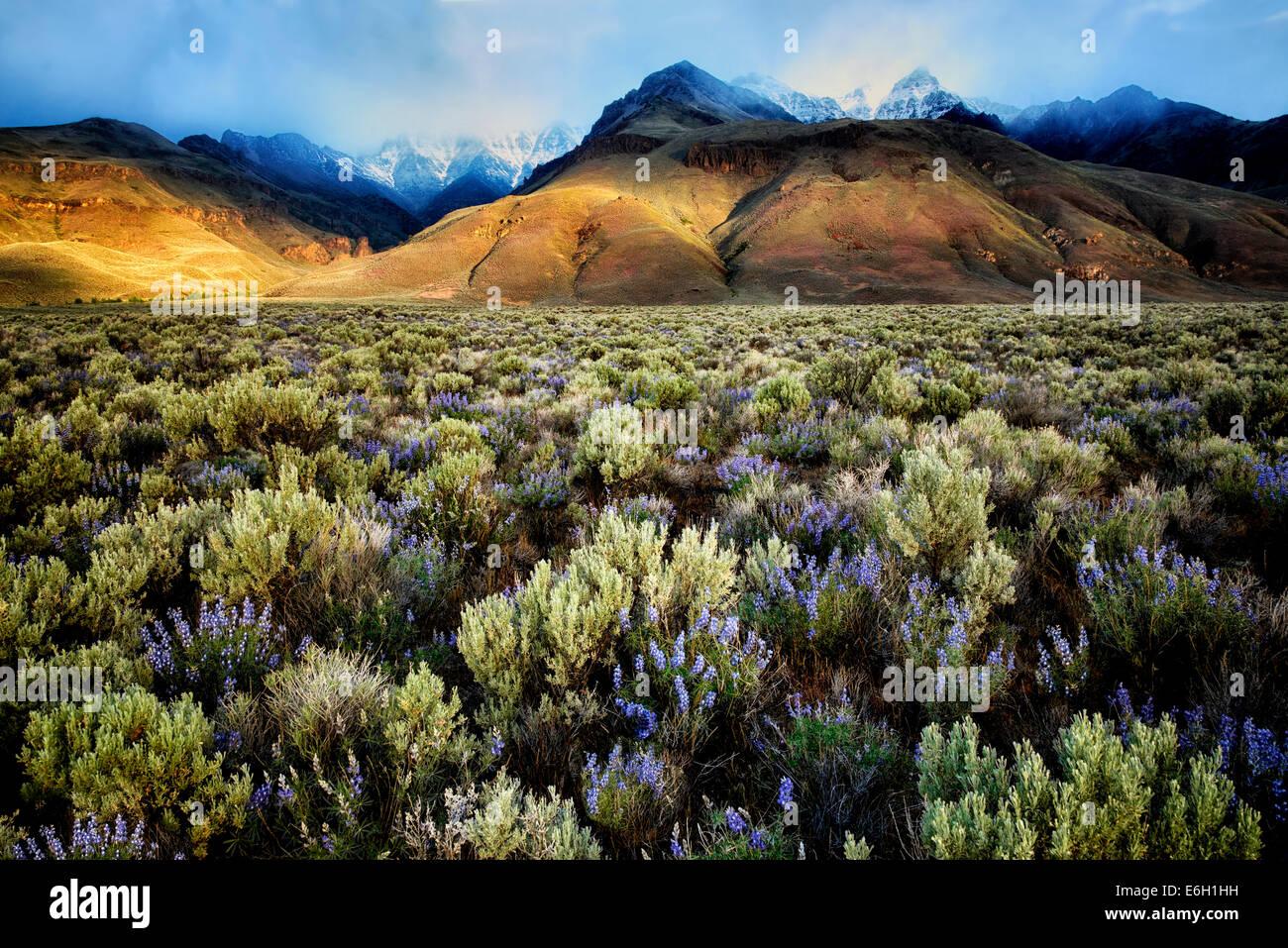 Par Sun avec un pic sur la montagne Steens avec lupin fleurs sauvages. Oregon Photo Stock