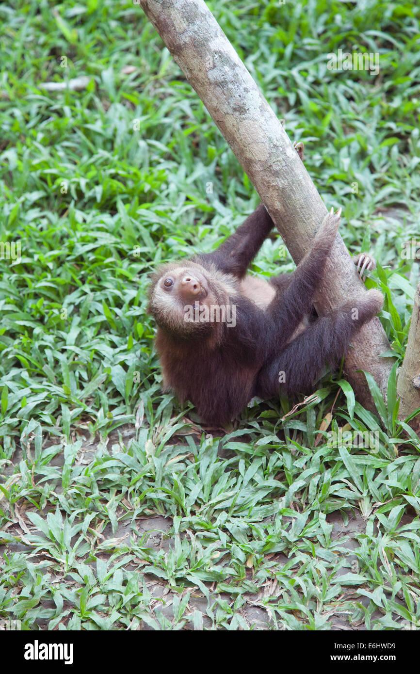 Hoffmann bébé Deux-toed Sloth (Choloepus hoffmanni) escalade orphelin jusqu'à l'arbre gym Photo Stock
