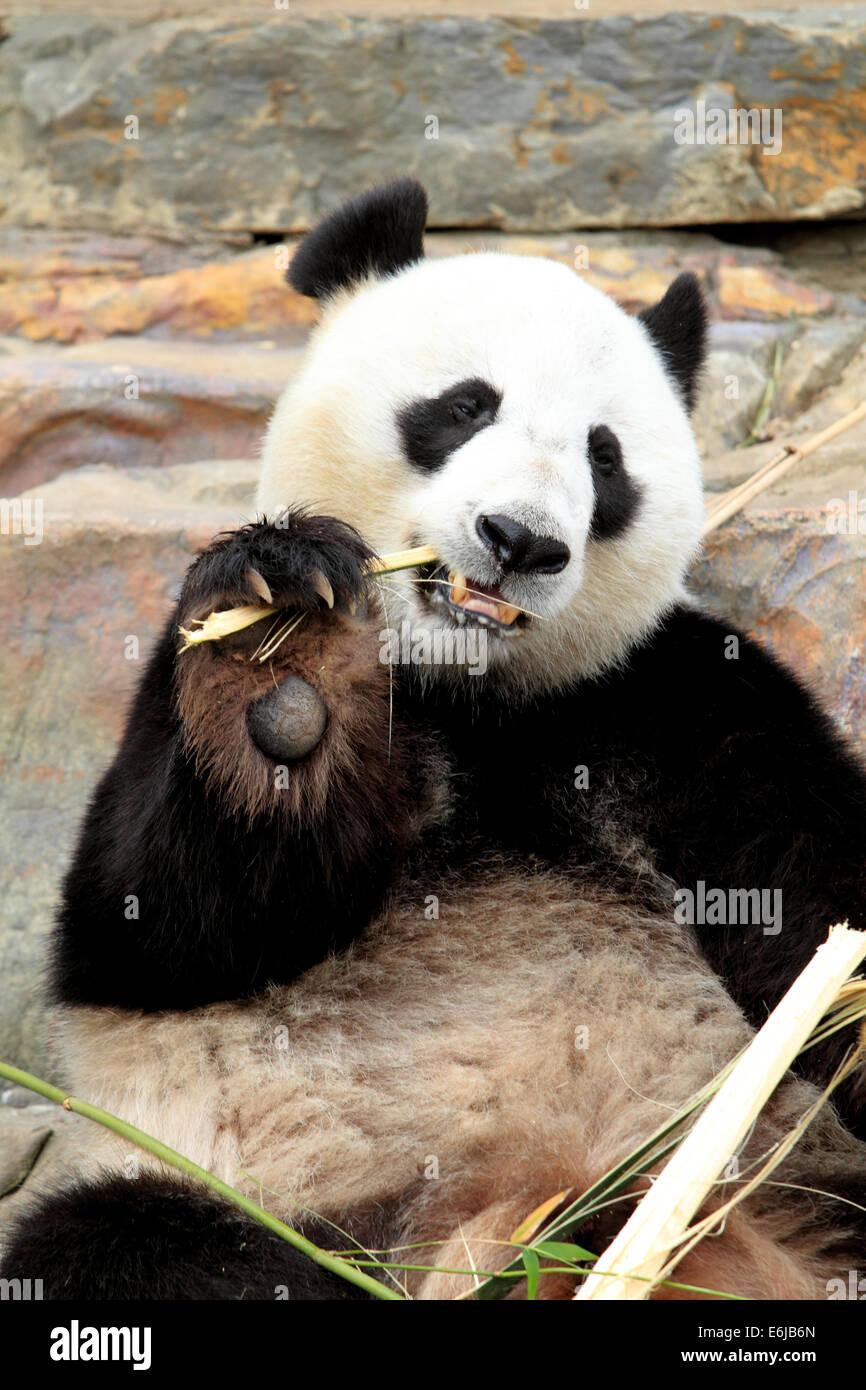 Panda géant en bambou à mâcher le Zoo d'Adélaïde en Australie Photo Stock