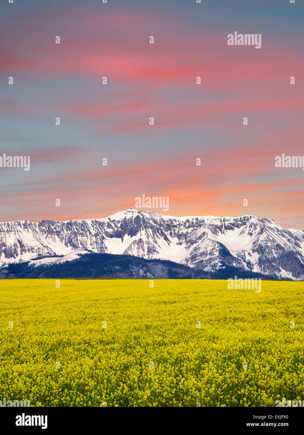 Domaine de la moutarde avec les montagnes couvertes de neige Wallowa. Oregon Photo Stock